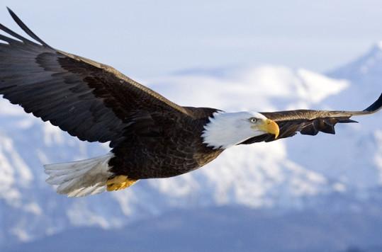 The elegance of the bald eagle.