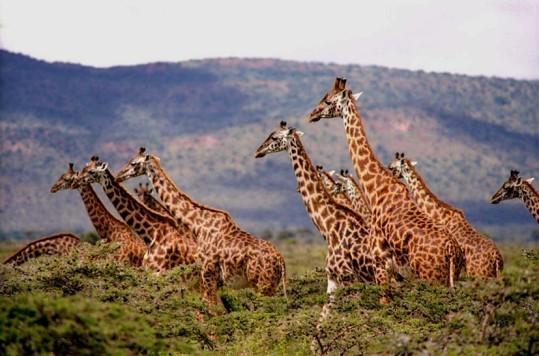 Giraffes walking plains of Africa
