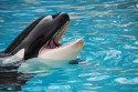 Breeding of killer whales banned in California